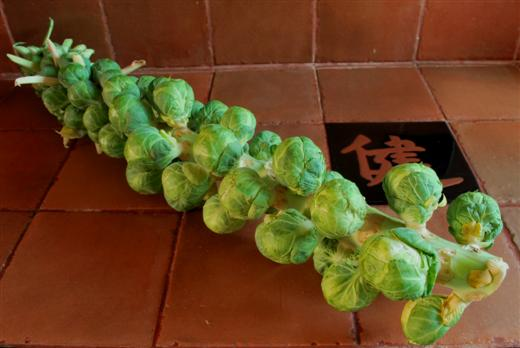 brussel-sprouts-stalk-custom